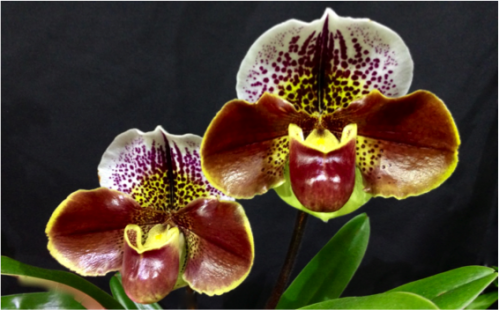 brown_paph